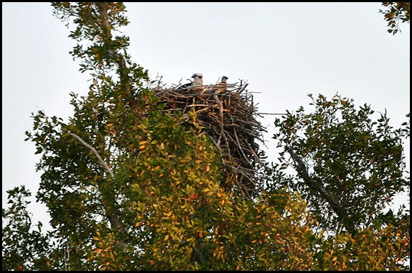 08 - Eco Pond - Osprey Nest with Mom and Chick