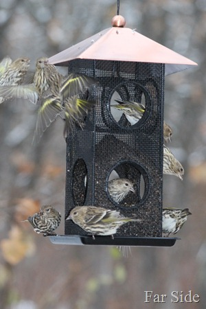 Pine Siskins at the thistle feeder.