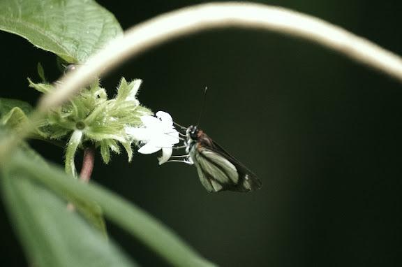 Vettius phyllus CRAMER, 1777. Caçandoca (Ubatuba, SP). 12 février 2012. Photo : J.-M. Gayman