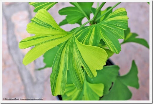 140426_Ginkgo-biloba-Sunstream_003