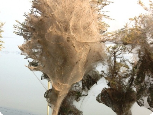 Spider cocoons in Sindh 2
