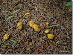 yellow-ochre mushrooms