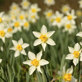 Springtime Daffodils by Barbara Suggs - Flowers Flowers in the Wild (  )