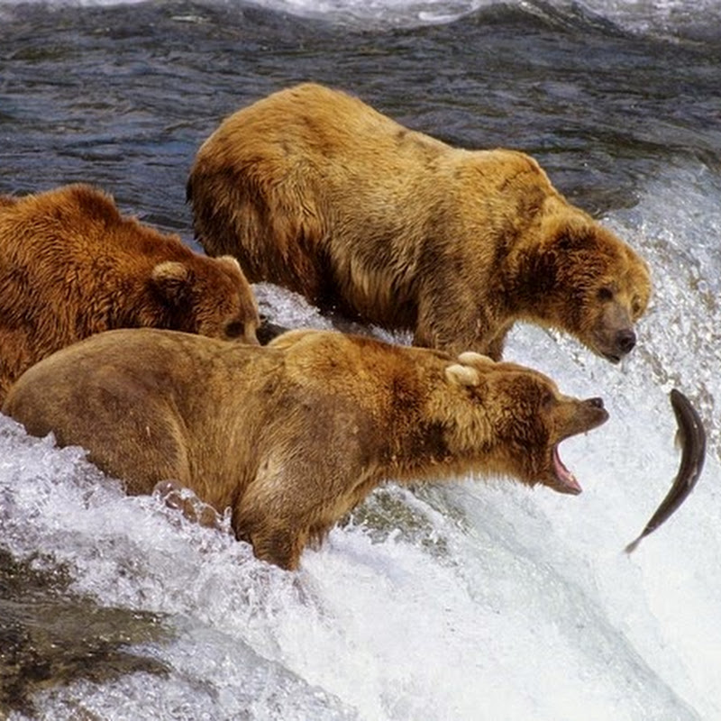 The Salmon Fishing Bears of Brooks Falls