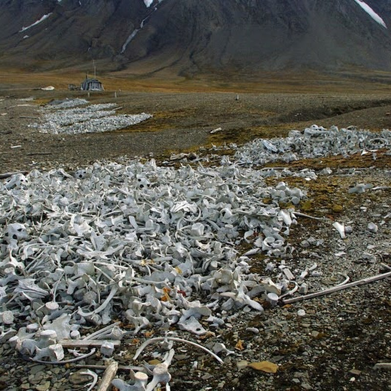 Piles of Beluga Whale Bones at Abandoned Whaling Station in Svalbard
