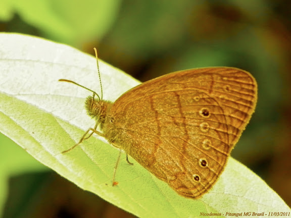 Probablement : Paryphthimoides undulata (BUTLER, 1867). Pitangui (MG, Brésil), 11 mars 2011. Photo : Nicodemos Rosa