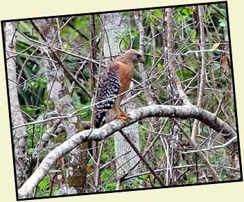 08 - Animals - Red Shouldered Hawk 1