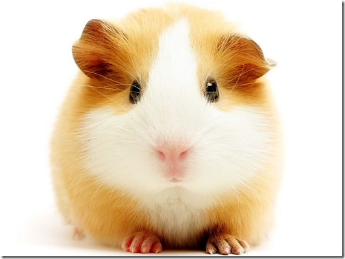 hamster grande imagen (7)