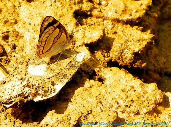 Dynamine racidula racidula (HEWITSON, 1852). Pitangui (MG, Brésil), 24 avril 2011. Photo : Nicodemos Rosa
