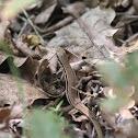 Common wall lizard (female)