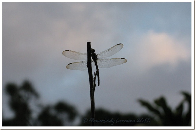 01-20-dragonfly