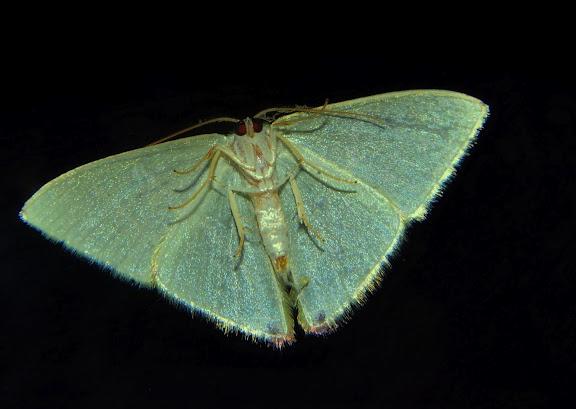 Geometridae : Geometrinae : Urolitha bipunctifera WALKER, 1961, verso. Umina Beach (NSW, Australie), 23 septembre 2011. Photo : Barbara Kedzierski