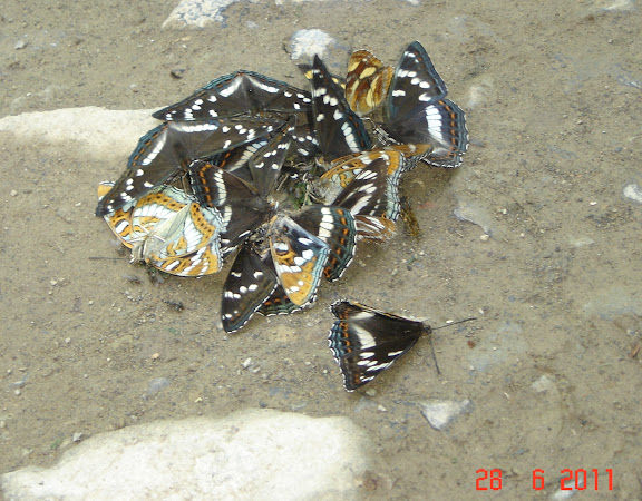Limenitis populi ussuriensis STAUDINGER, 1887. Six km au sud d'Anisimovka, alt. 500 m (Primorskij Kraj, Oussouri), 28 juin 2011. Photo : G. Meissonnier