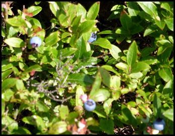 06c - Post 8 to 7 - Conners Nubble - blueberries