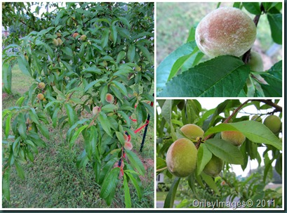 peach tree collage0523