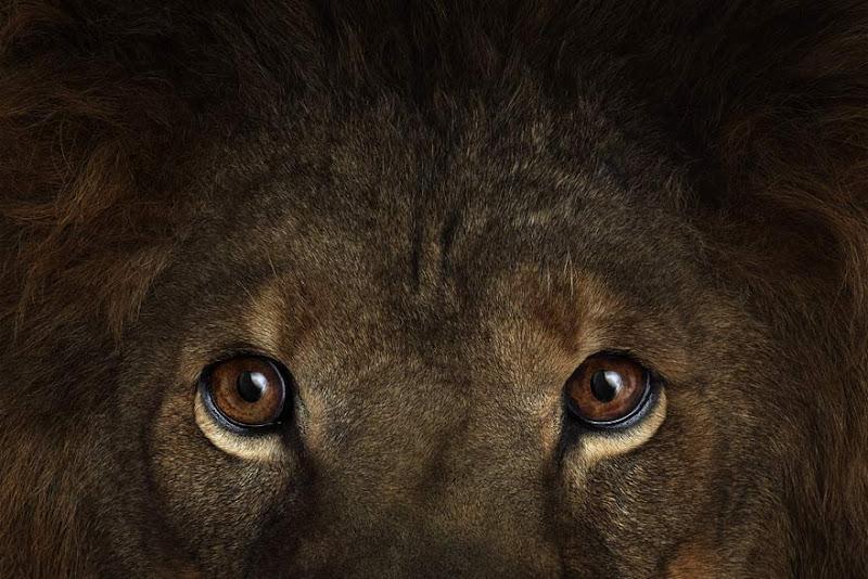 animal-photography-affinity-Brad-Wilson-lion-3.jpeg