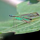 Long nosed planthopper