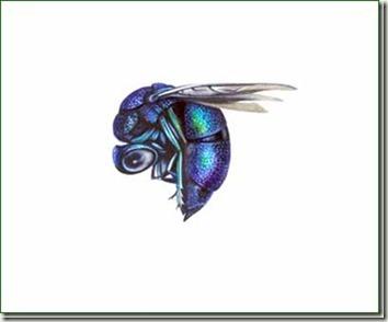 Chrysididae wasp