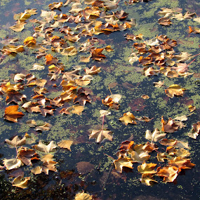 The Leaves On The Lake by Anne Santostefano - Nature Up Close Leaves & Grasses ( fall, lake, leaves,  )