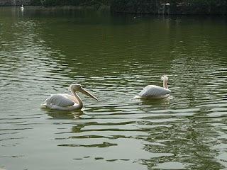 Pélicans au Zoo de Shanghai