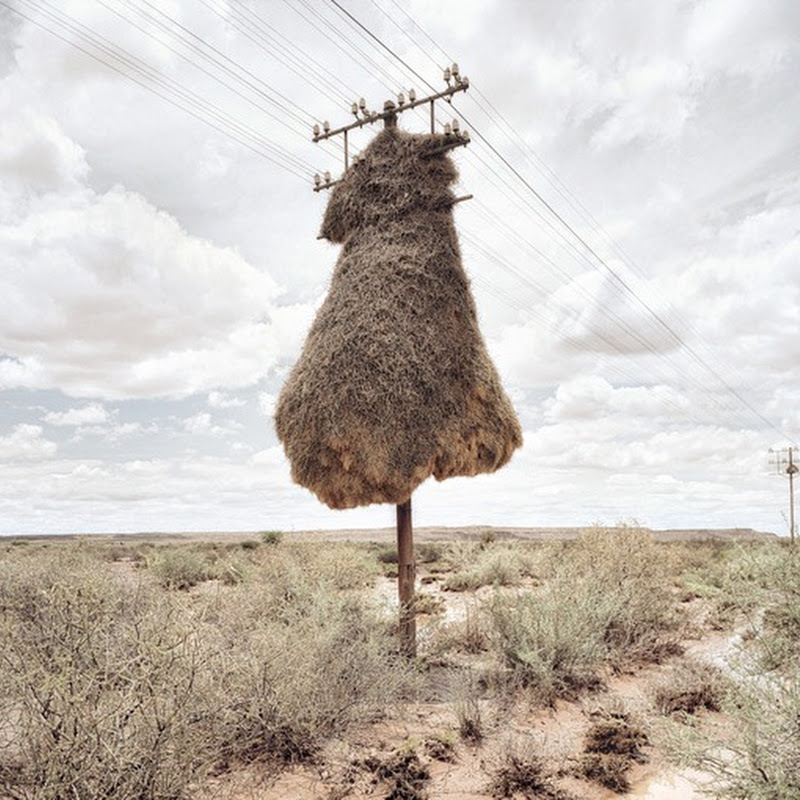 Massive Bird Nests on Telephone Poles
