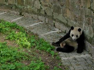 Panda au Zoo de Shanghai