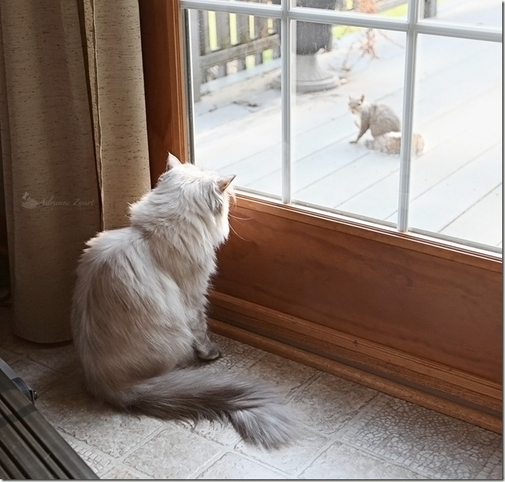 squirrel watching cat watching squirrel.
