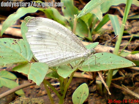 Leptosia nina - Psyche, Black-spotted White 01