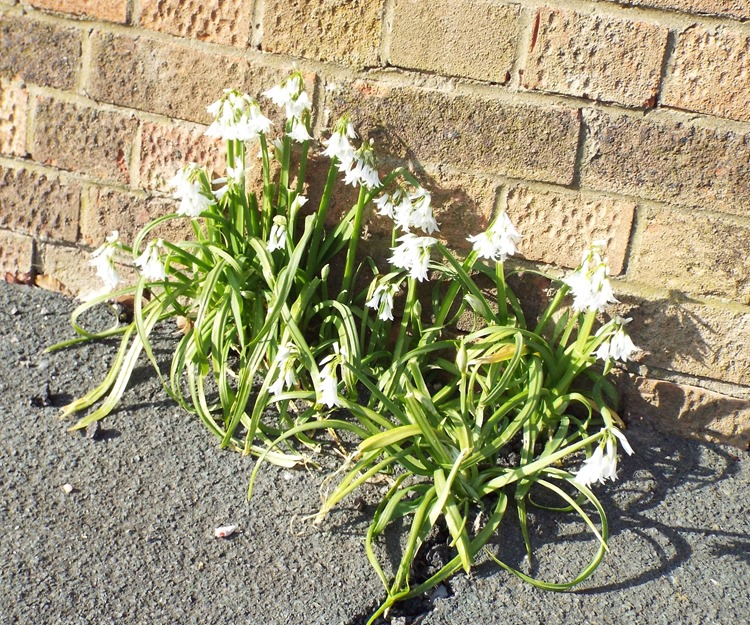snowdrops on the pavement