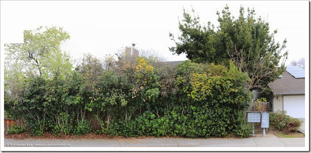 140216_pittosporum_hedge_pano2