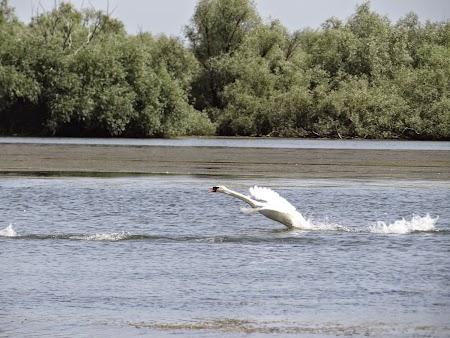 11. Lebada decoland in Delta Dunarii.JPG