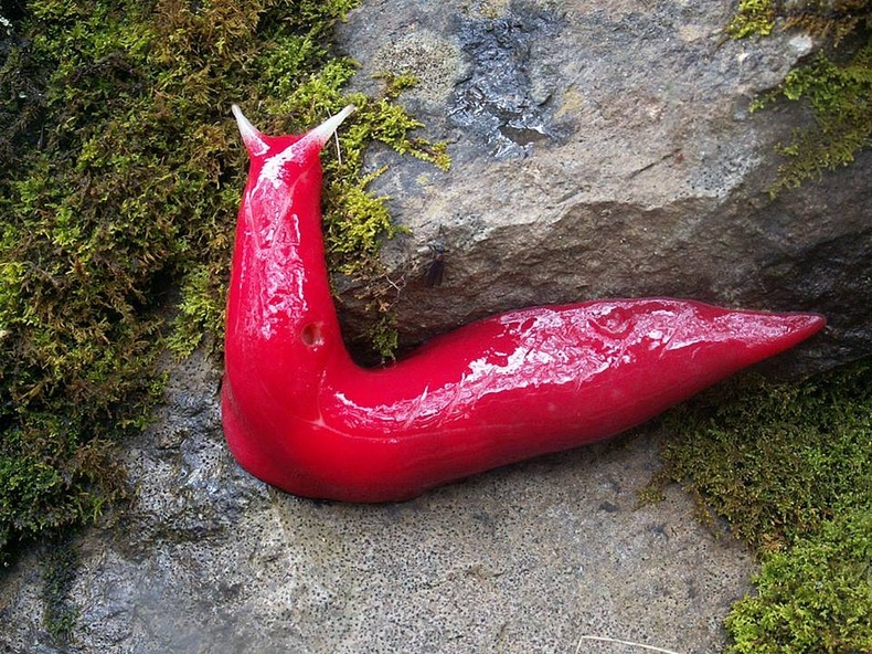 mt-kaputar-pink-slugs-2