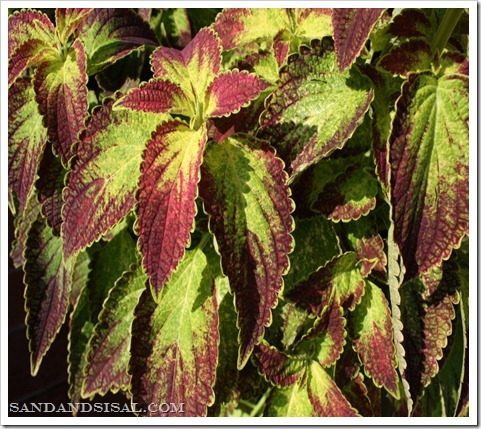 coleus in full bloom (1024x683)