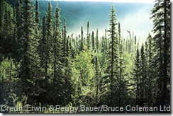 boreal-coniferous-forest