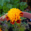 Marigolds in bloom-Tammy Leane.JPG