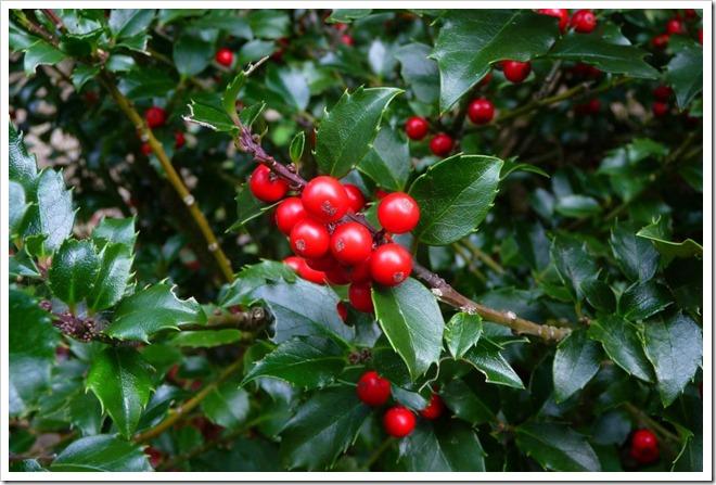 holly berries bush | Feliz Navidad