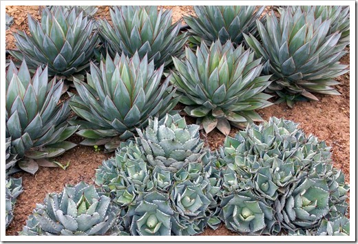 120929_SucculentGardens_Agave-Blue-Glow_02
