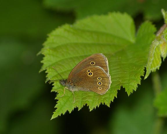 Aphantopus hyperantus L., 1758, femelle. Les Hautes-Lisières (Rouvres, 28), 27 juin 2011. Photo : J.-M. Gayman