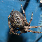 Spaltenkreuzspinne / Walnut Orb-Weaver Spider