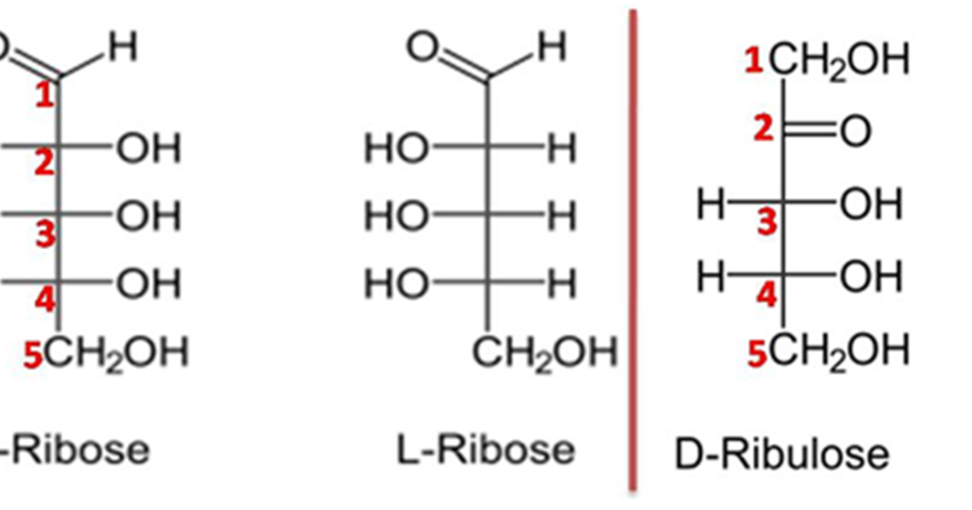 Difference between Ribose and Ribulose | Major Differences