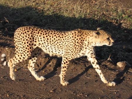Safari Kenya: Ghepard la vanatoare