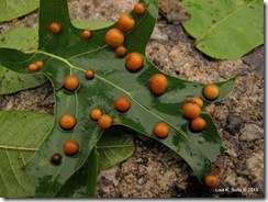 many galls on oak