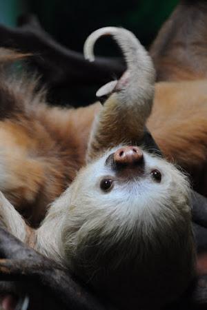 Fauna Costa Rica: Lenes cu 2 degete