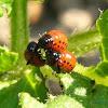 escarabajo de la patata (larva)