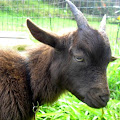 Goats with Headlamps