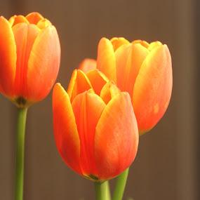 Orange Tulips by Christie Henderson - Novices Only Flowers & Plants ( orange, tulip, flowers,  )