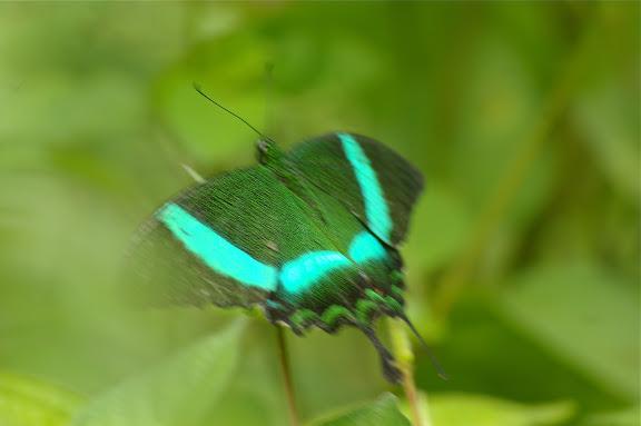 Papilio palinurus palinurus FABRICIUS, 1787. Poring (Sabah, Malaisie), 31 juillet 2011. Photo : J.-M. Gayman