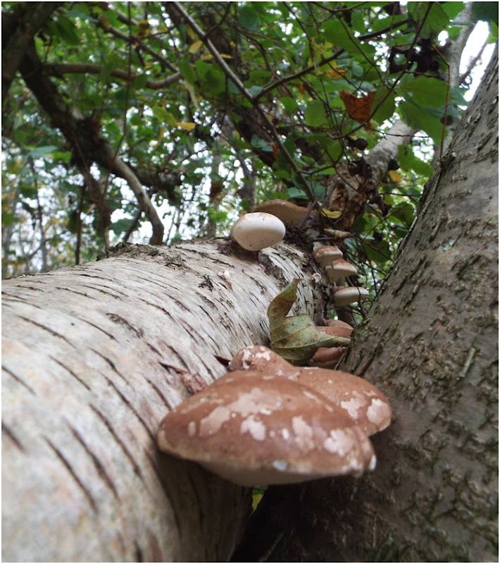 mushrooms climbing up a tree