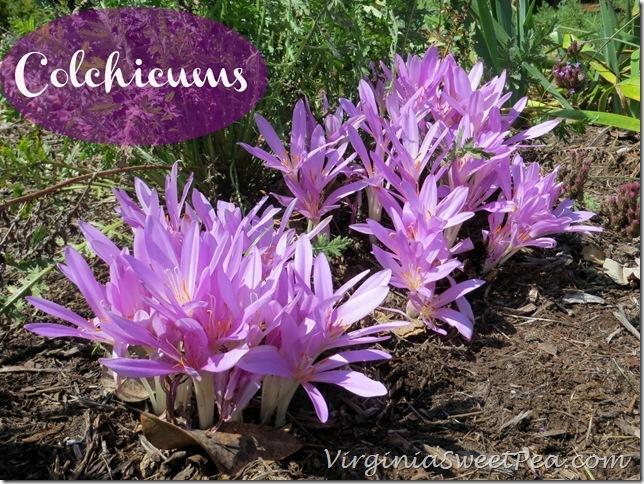 Colchicums