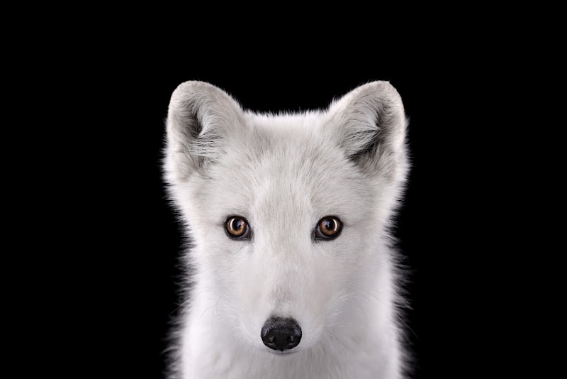 animal-photography-affinity-Brad-Wilson-arctic-fox.jpeg